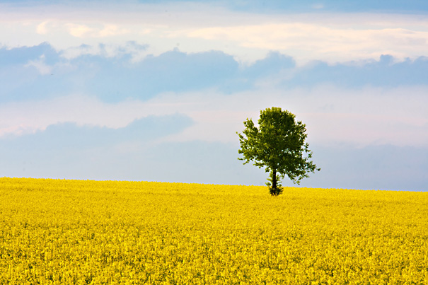 Gröda, rapsfält, solitärträd